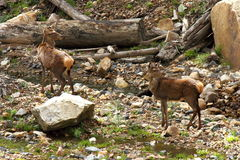Cervos no selvagem - Grampians foto de stock royalty free