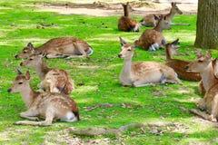 Cervos no sol Imagens de Stock Royalty Free