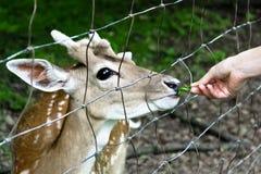 Cervos Nosy que estão sendo alimentados Imagens de Stock