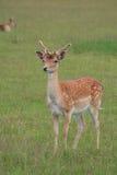 Cervos novos Fotos de Stock Royalty Free