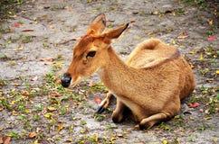 Cervos novos foto de stock royalty free