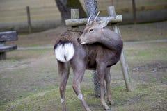 Cervos novos Imagens de Stock