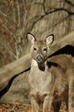Cervos novos bonitos Imagens de Stock Royalty Free
