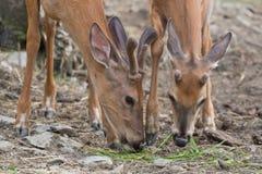 Cervos novos com chifres de veludo Fotografia de Stock