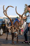 Cervos novos com chifres enormes Fotos de Stock
