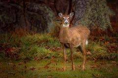 Cervos novos da cauda branca Fotografia de Stock