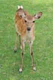 Cervos novos do sika Fotografia de Stock Royalty Free