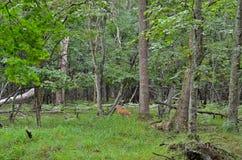 Cervos novos 1 do sika Imagem de Stock Royalty Free