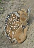 Cervos novos 10 do sika Imagens de Stock Royalty Free