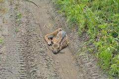 Cervos novos 9 do sika Fotos de Stock Royalty Free