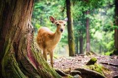 Cervos novos do sika em Nara Park Imagens de Stock
