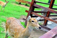 Cervos novos na exploração agrícola Fotos de Stock Royalty Free