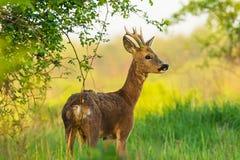 Cervos novos na pastagem da manhã fotos de stock royalty free