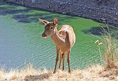 Cervos novos perto do rio Fotos de Stock