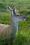 Cervos novos que alimentam no pasto das montanhas imagens de stock royalty free