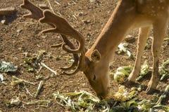 Cervos novos que comem vegetais Os cervos são a mamãe hoofed do ruminante fotos de stock royalty free