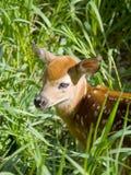 Cervos novos Imagens de Stock Royalty Free