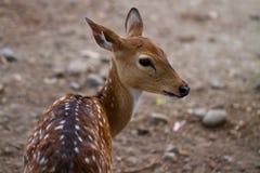 Cervos novos que olham para trás fotos de stock royalty free