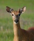 Cervos observadores Fotografia de Stock Royalty Free