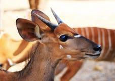 Cervos ou goral Imagens de Stock Royalty Free