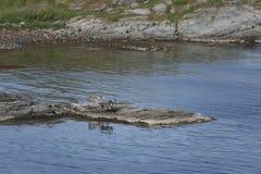 Cervos pela água Fotografia de Stock Royalty Free