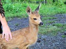 Cervos pequenos do bebê que vivem com os povos. Fotografia de Stock