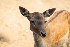 Cervos pequenos no parque nacional da ilha de Thassos Fotografia de Stock