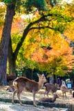 Cervos perto do templo de Todaiji em Nara, Japão Fotos de Stock