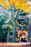 Cervos perto do templo de Todaiji em Nara, Japão Imagem de Stock