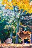 Cervos perto do templo de Todaiji em Nara, Japão Foto de Stock Royalty Free