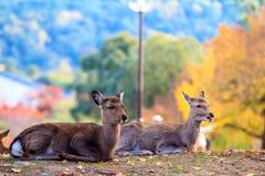 Cervos perto do templo de Todaiji em Nara, Japão Fotografia de Stock Royalty Free