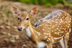 Cervos pontilhados Imagens de Stock Royalty Free