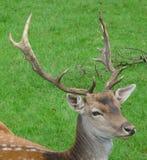Cervos principais Fotos de Stock