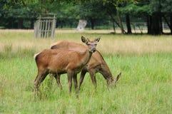 Cervos que alimentam na grama Fotos de Stock Royalty Free