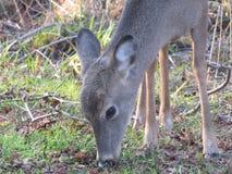 Cervos que comem a grama Fotografia de Stock