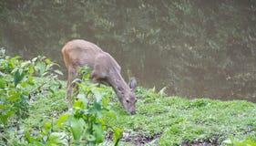Cervos que comem a grama Imagem de Stock Royalty Free
