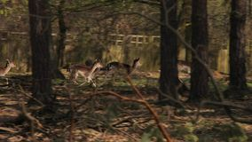 Cervos que correm na floresta video estoque