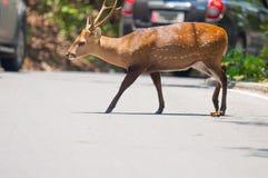 Cervos que cruzam a estrada foto de stock