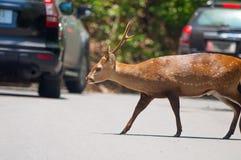 Cervos que cruzam a estrada Imagem de Stock