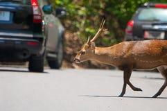 Cervos que cruzam a estrada Imagens de Stock Royalty Free