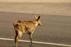 Cervos que cruzam uma estrada ocupada Fotografia de Stock