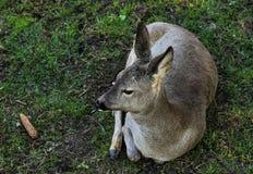 Cervos que encontram-se em uma grama verde na floresta Fotos de Stock Royalty Free