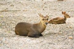 Cervos que encontram-se na terra Fotografia de Stock Royalty Free