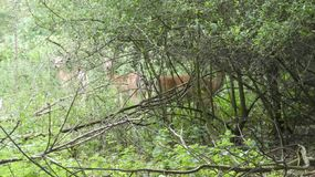 Cervos que escondem na m?scara 9 foto de stock royalty free