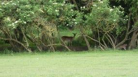 Cervos que escondem na m?scara imagens de stock royalty free
