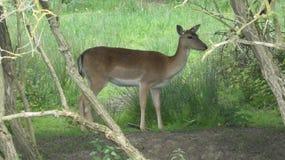 Cervos que escondem na m?scara 3 imagem de stock royalty free