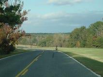 Cervos que estão em uma estrada Fotografia de Stock Royalty Free