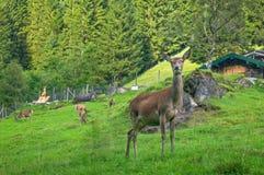Cervos que estão na grama Fotografia de Stock