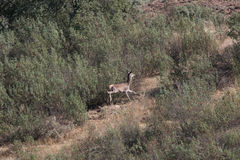Cervos que fogem os caçadores Imagens de Stock