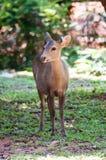 Cervos que foram alimentados Foto de Stock